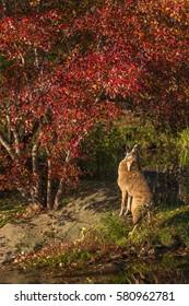 Coyote (Canis latrans) Howls Under Tree - captive animal