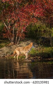 Coyote (Canis latrans) Looks Right Reflected in Pond - captive animal