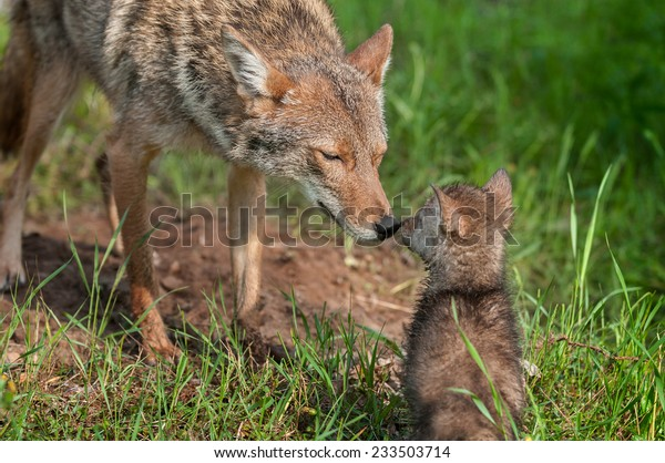 coyote-canis-latrans-nose-touch-600w-233