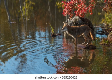 Coyote (Canis latrans) on Rock in Pond - captive animal