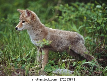 Coyote (Canis Latrans) Puppy