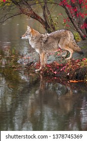 Coyote (Canis latrans) Stands at Edge of Water Profile Autumn - captive animal