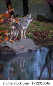 Coyote (Canis latrans) steht auf dem Felsen Reflektiert im Teich Blick Herbst - in Gefangenschaft gehaltenes Tier