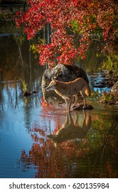 Coyote (Canis latrans) Stands in Pond - captive animal