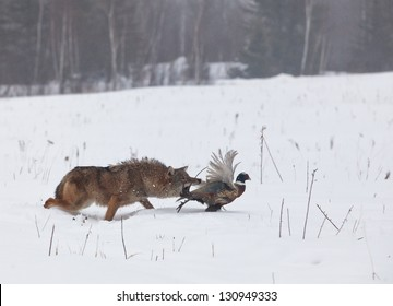 Coyote chasing a ring necked pheasant rooster.  Soft focus of predator and prey.  Wintry mist in Minnesota