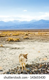 coyote, Death Valley National Park, California, USA