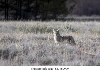Coyote in deep grass and sagebrush