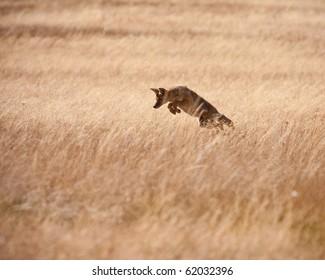 Coyote during fall season