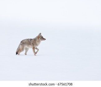Coyote during winter in Yellowstone