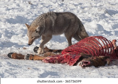 Coyote eating from a dead animal