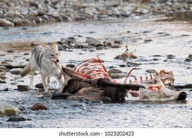 A coyote feeding on an elk carcass