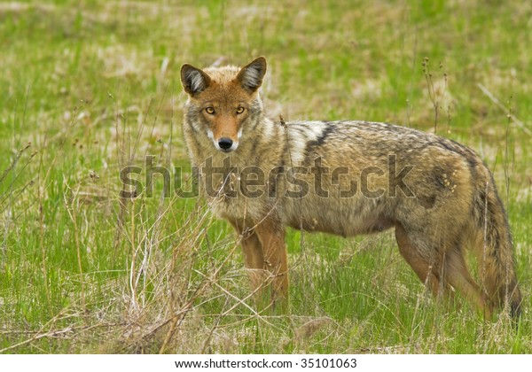coyote-female-canis-latrans-600w-3510106