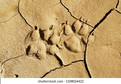 Coyote footprints stamped into the mud after a heavy rainfall in the foothills of California