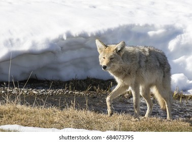 Coyote foraging near river in Yellowstone in winter