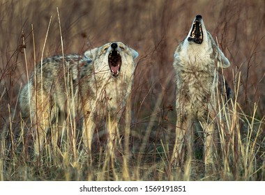 Coyote Gang signing and howling