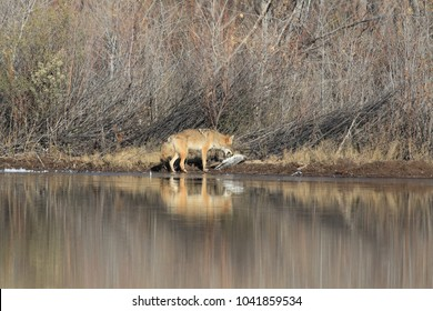 coyote with goose in Bosque del Apache national wildlife refuge in New Mexico.