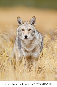 Coyote in grassy meadow in the Rocky Mountains