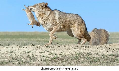 Coyote has stolen prey
