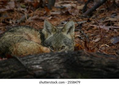 Coyote hiding behind fallen tree