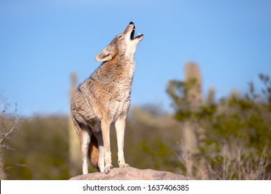 coyote howling  on a rock in desert