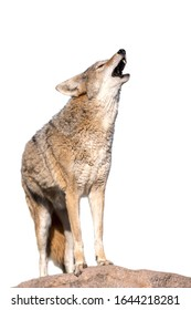 Coyote howling  on a rock in desert, isolated on white background
