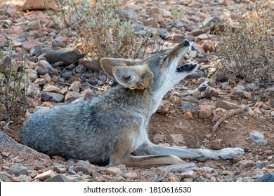 Coyote Howling while curled up in a Wallow