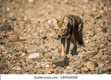 Coyote hunting in the desert of Americas great southwest.
