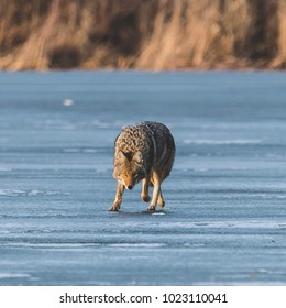 Coyote hunting on ice