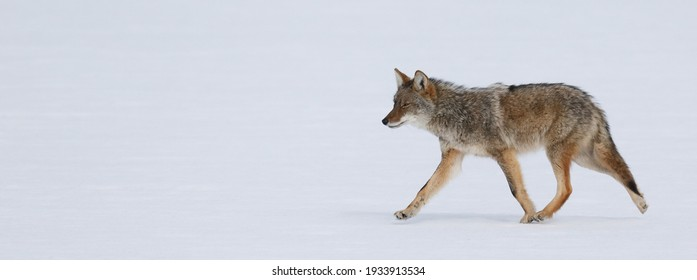 coyote hunting on the snow