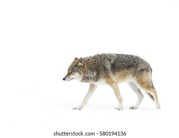Coyote isolated on white background walking and hunting through the snow in Canada