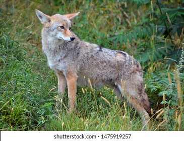 The coyote, also known as the American jackal, brush wolf, or the prairie wolf, is a species of canine found throughout North and Central America