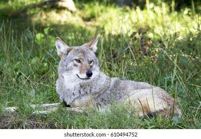 Coyote laying in the grass-Stock photos