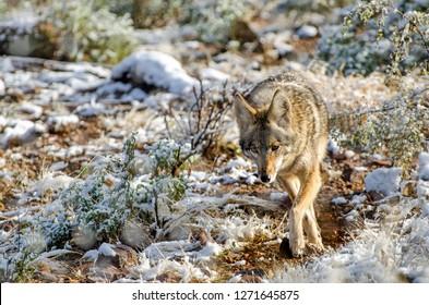 Desert Wolf Images, Stock Photos & Vectors   Shutterstock