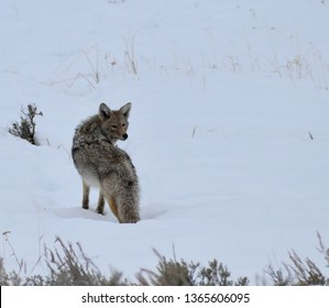 Coyote Looking Back in Snow