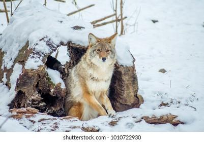 Coyote Looking At Camera