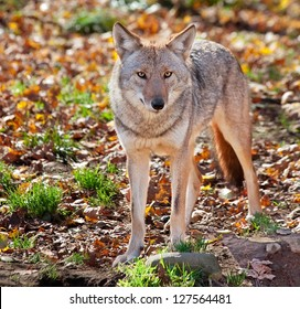Coyote Looking at the Camera