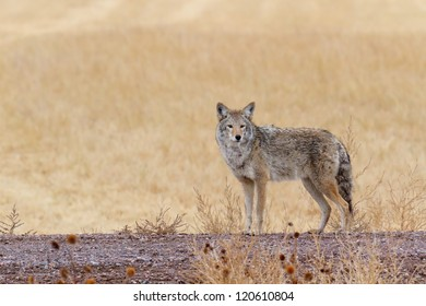 Coyote looking for prey in Bosque del Apache National Wildlife Refuge