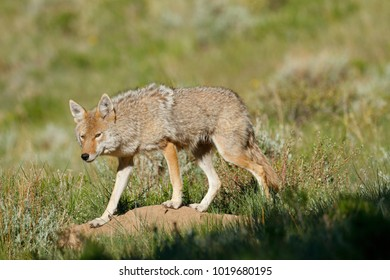 A Coyote in a meadow