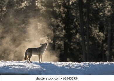 Coyote in the Mist in Yellowstone.