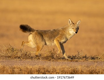 Coyote on the prowl for food