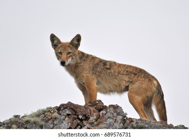 Coyote on top of a Rocky Outcropping