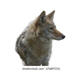 Coyote Portrait isolated on white background