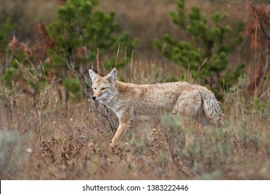 Coyote, prairie wolf, canis latrans, Yellowstone national park, USA