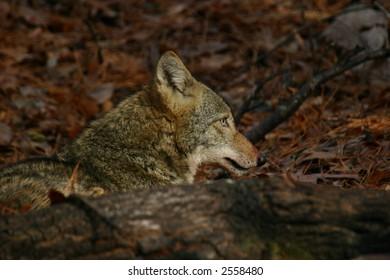 Coyote Profile behind fallen tree