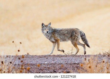 Coyote prowling  on the farm road in Bosque del Apache national wildlife refuge in New Mexico.