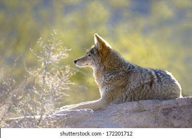 A coyote relaxing on a rock.