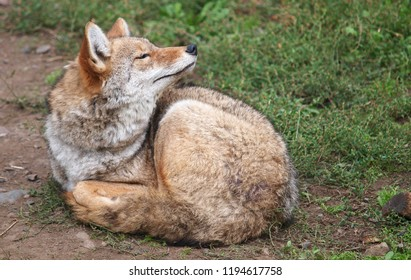 Coyote resting, Canada