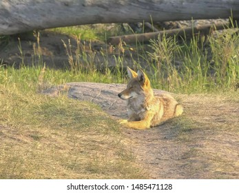 coyote resting with eyes closed in the lamar valley of yellowstone