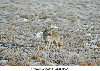 Coyote in the Rocky Mountains, USA