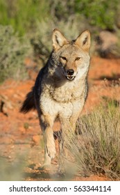 coyote running through the desert, toward the camera,  with sage brush and red dirt background